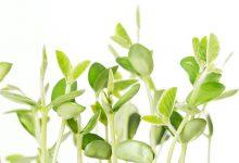 Soya Filizinin Sağlığa Faydaları