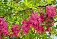 Akasya çiçeği nasıl yetiştirilir? Yetiştirme Püf Noktaları