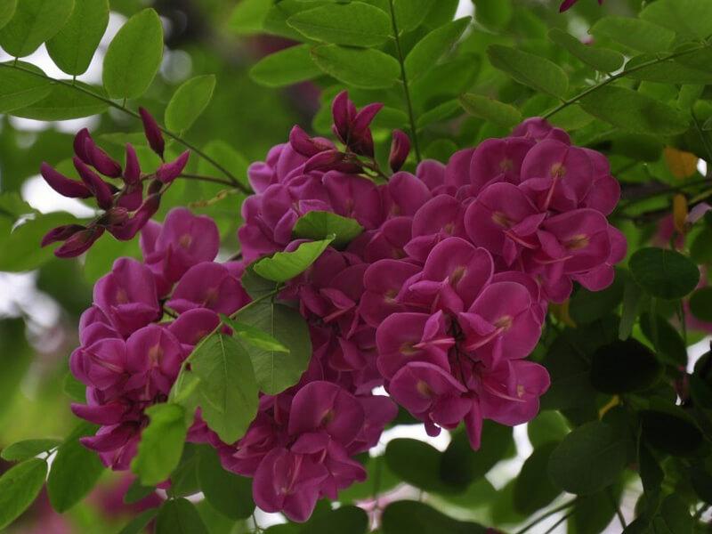 Akasya çiçeği ne zaman açar?
