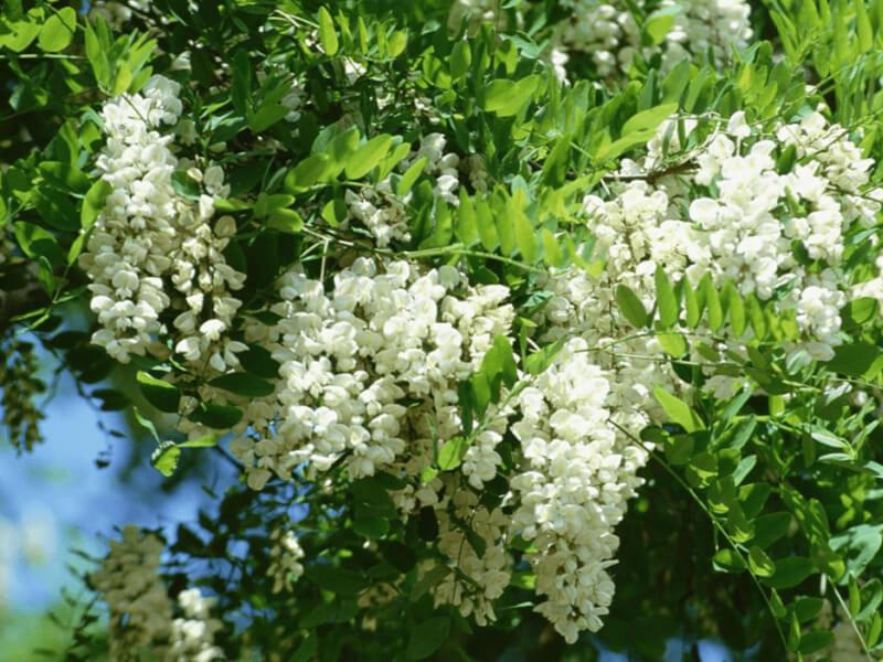 Akasya çiçeğinin özellikleri nelerdir?