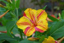 Akşam Sefası Çiçeği Bakımı Nasıldır? Özellikleri Nelerdir?