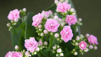 Kalanşo Çiçeği Nasıl Yetiştirilir? Kalanşo Çiçeği Bakımı