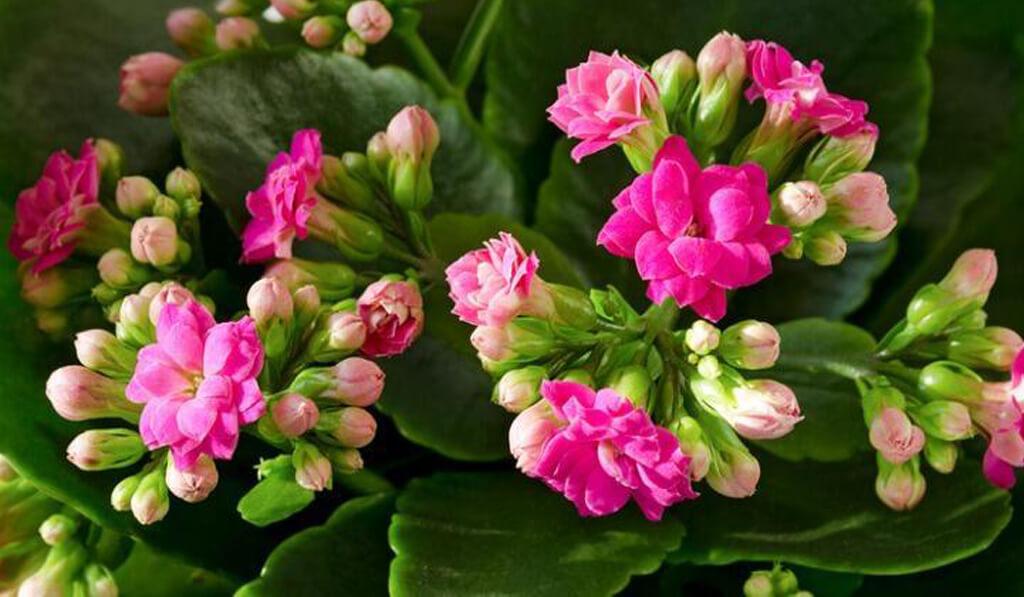 Kalanşo çiçeğinin özellikleri nelerdir