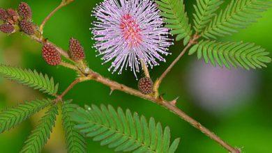 Küstüm çiçeği (Dokunma bana çiçeği) bakımı nasıl yapılır?