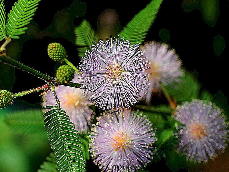 Küstüm çiçeğinin özellikleri nelerdir?