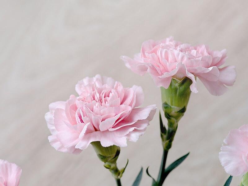 Karanfil çiçeğine verilen anlamlar nelerdir?