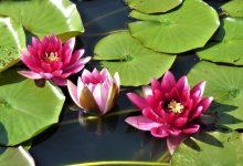 Nilüfer Çiçeği Evde Nasıl Yetiştirilir?