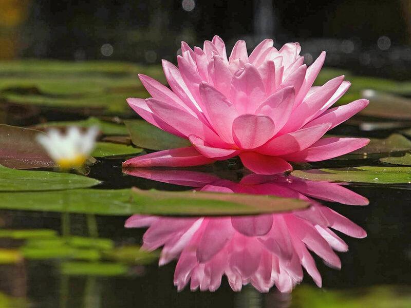 Nilüfer çiçeği evde yetiştirme