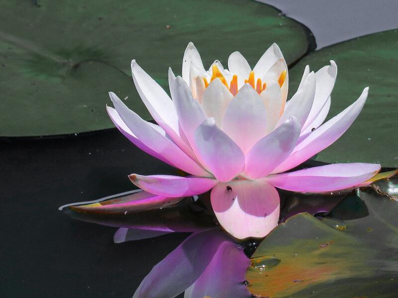 Nilüfer çiçeği ne zaman açar?
