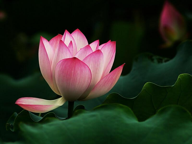 Nilüfer çiçeğinin rengine göre anlamları nelerdir?