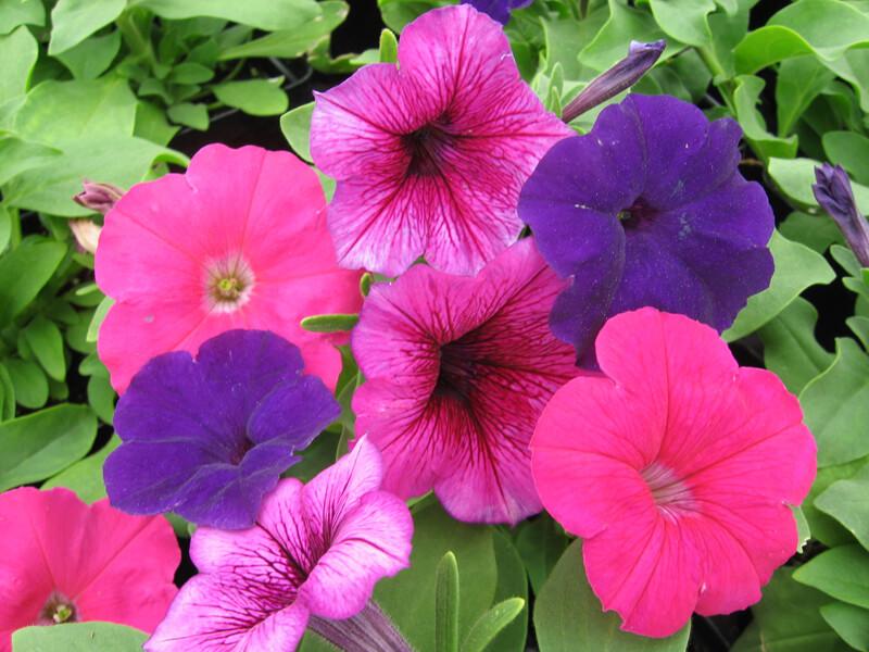 Petunya çiçeği nasıl çoğaltılır?
