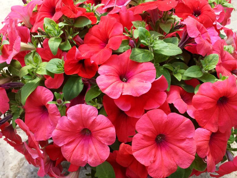 Petunya çiçeğinin anlamı nedir?