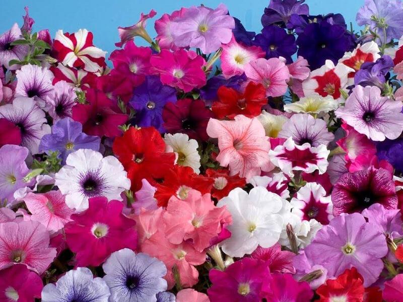 Petunya çiçeğinin özellikleri nelerdir?