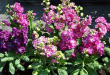 Şebboy Çiçeği Bakımı Nasıl Yapılır?