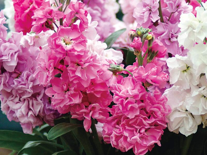Şebboy çiçeği ne zaman açar?