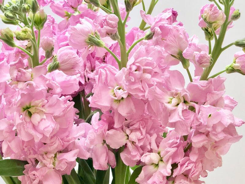 Şebboy çiçeği neden kurur?
