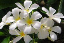 Yasemin Çiçeği Bakımı Nasıl Yapılır?