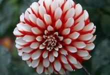 Yıldız Çiçeği Bakımı Nasıl Olmalıdır?