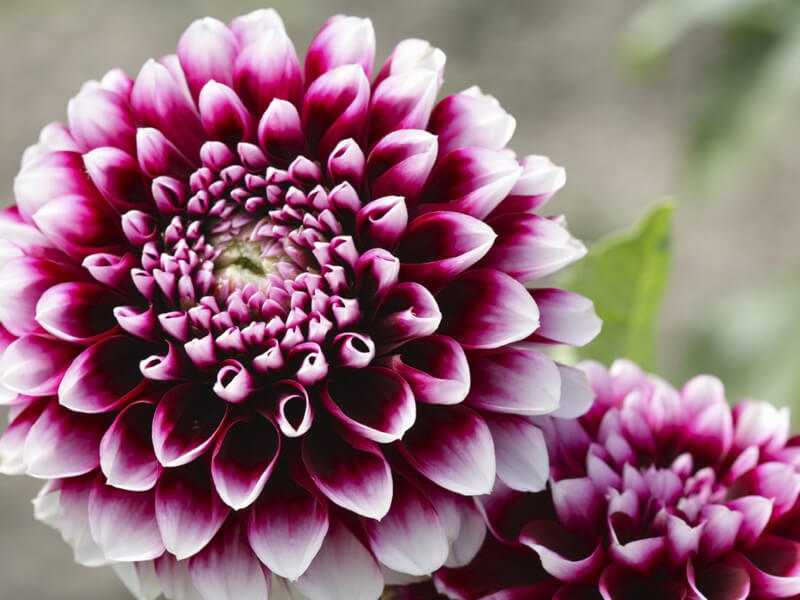 Yıldız çiçeği – dalya çiçeği özellikleri nelerdir?