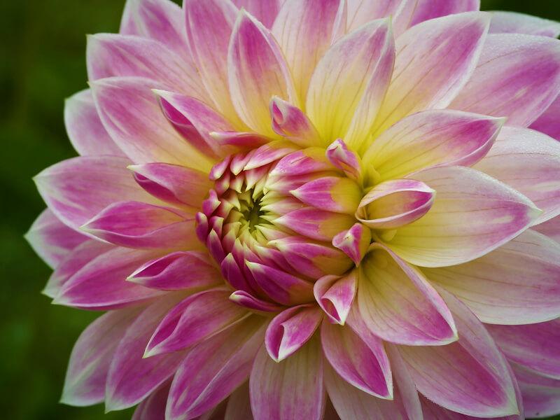 Yıldız çiçeği hangi toprakta yetişir?