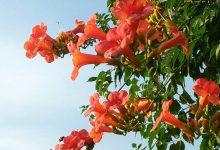 Boru Çiçeği Bakımı ve Özellikleri