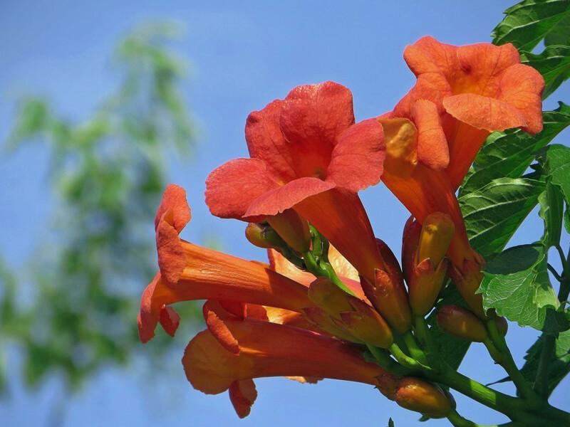Boru Çiçeği Bakımı