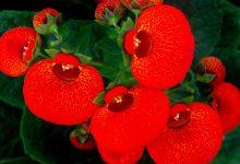 Çanta Çiçeği Bakımı ve Özellikleri