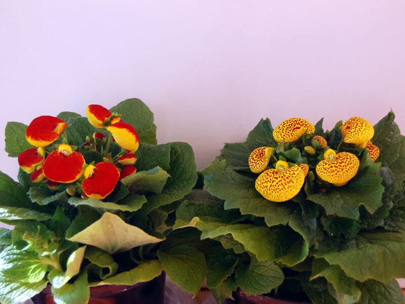 Çanta Çiçeği Tohumu Nasıl Yetiştirilir?