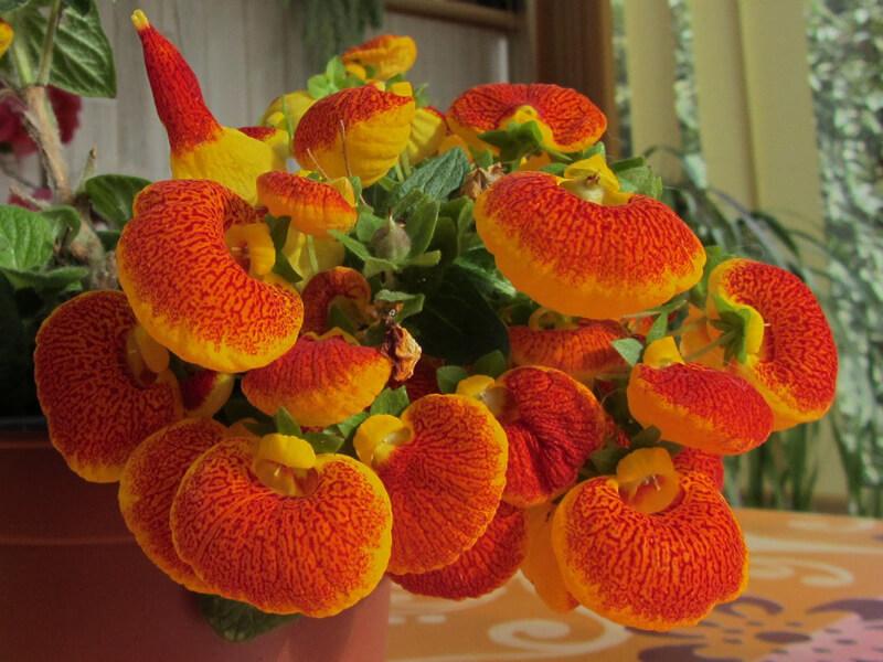 Çanta Çiçeği Fiyatları