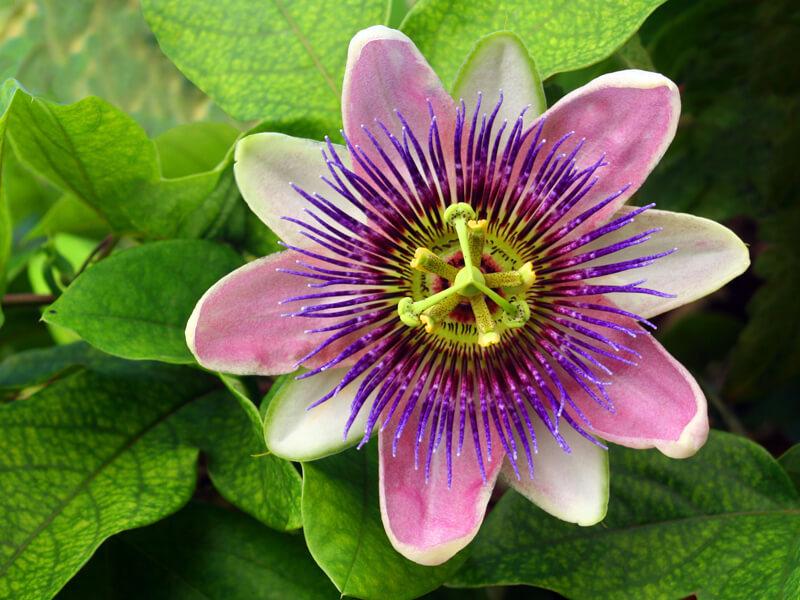 Çarkıfelek Çiçeği Anlamı