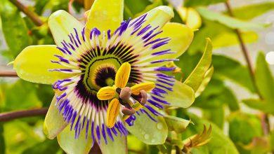 Çarkıfelek Çiçeği Bakımı ve Özellikleri