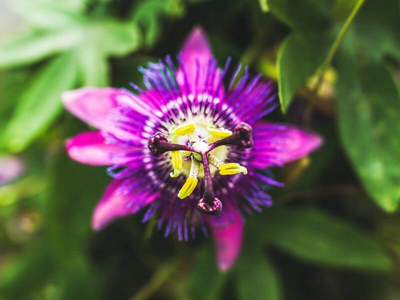 Çarkıfelek Çiçeği Bakımı