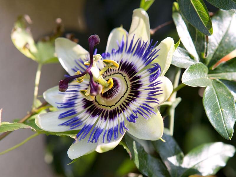 Çarkıfelek Çiçeği Diğer Adı Nedir?