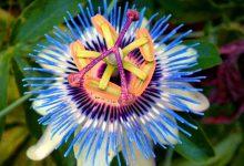 Çarkıfelek Çiçeği Ne İşe Yarar?