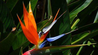 Cennet Kuşu Çiçeği Bakımı ve Özellikleri