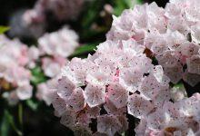 Defne Çiçeği Bakımı ve Özellikleri