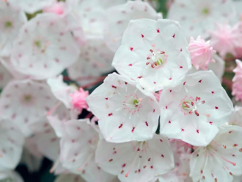 Defne Çiçeği Bakımı