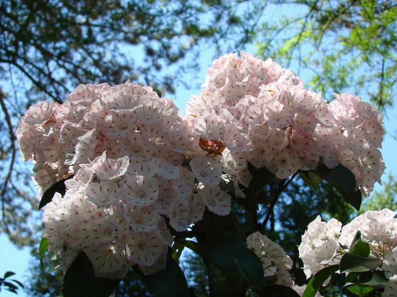 Defne Çiçeği Tohumdan Nasıl Yetiştirilir?
