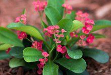 Dikenler Tacı Çiçeği Bakımı ve Özellikleri