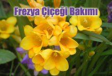 Frezya Çiçeği Bakımı ve Özellikleri